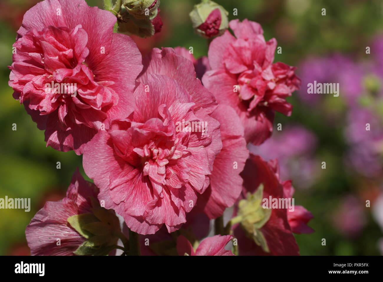 Alcea Rosea Beautiful Pink Mallow In The Garden In Summer Lovely