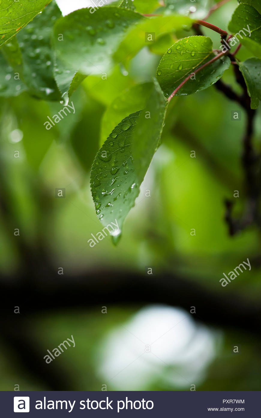 Rain drops drip on the leaves of a tree after a summer, afternoon shower. - Stock Image
