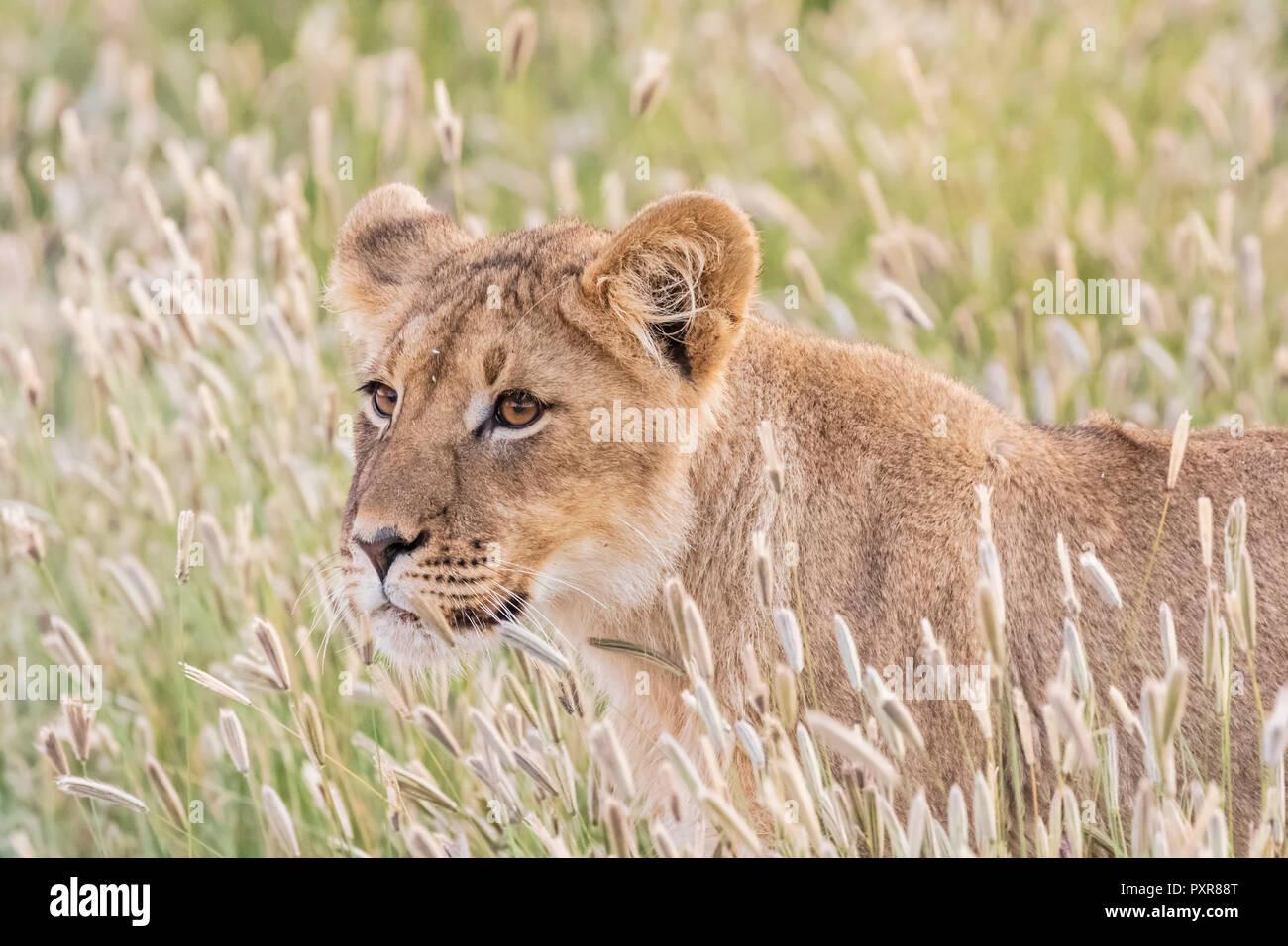 Botswana, Kgalagadi Transfrontier Park, young lion, Panthera leo - Stock Image
