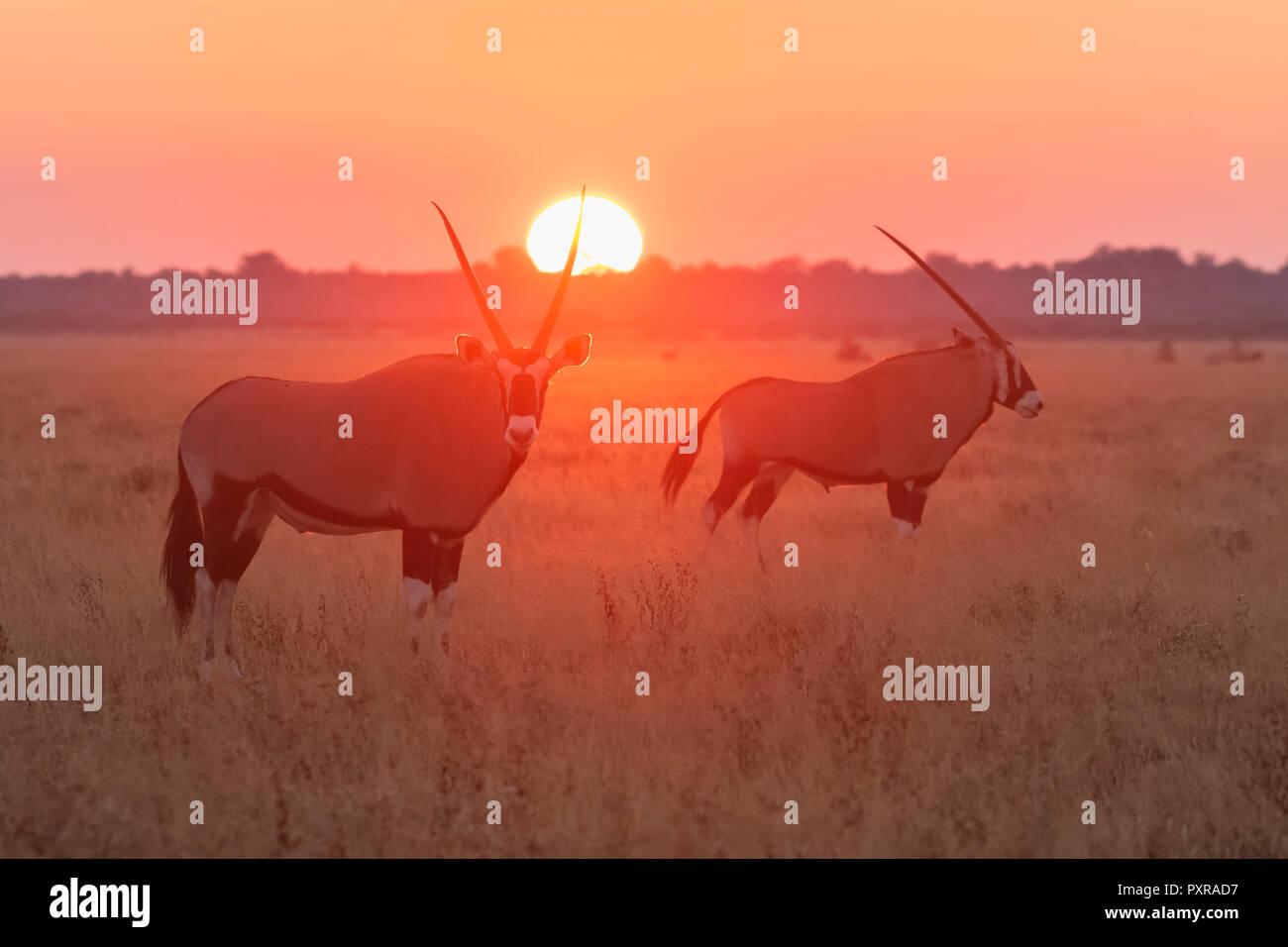 Botswana, Kalahari, Central Kalahari Game Reserve, Greater Kudus at sunrise, Tragelaphus strepsiceros - Stock Image
