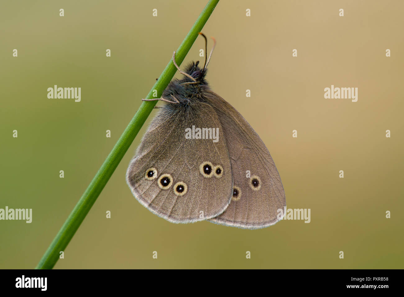 Ringlet on a blade of grass Stock Photo