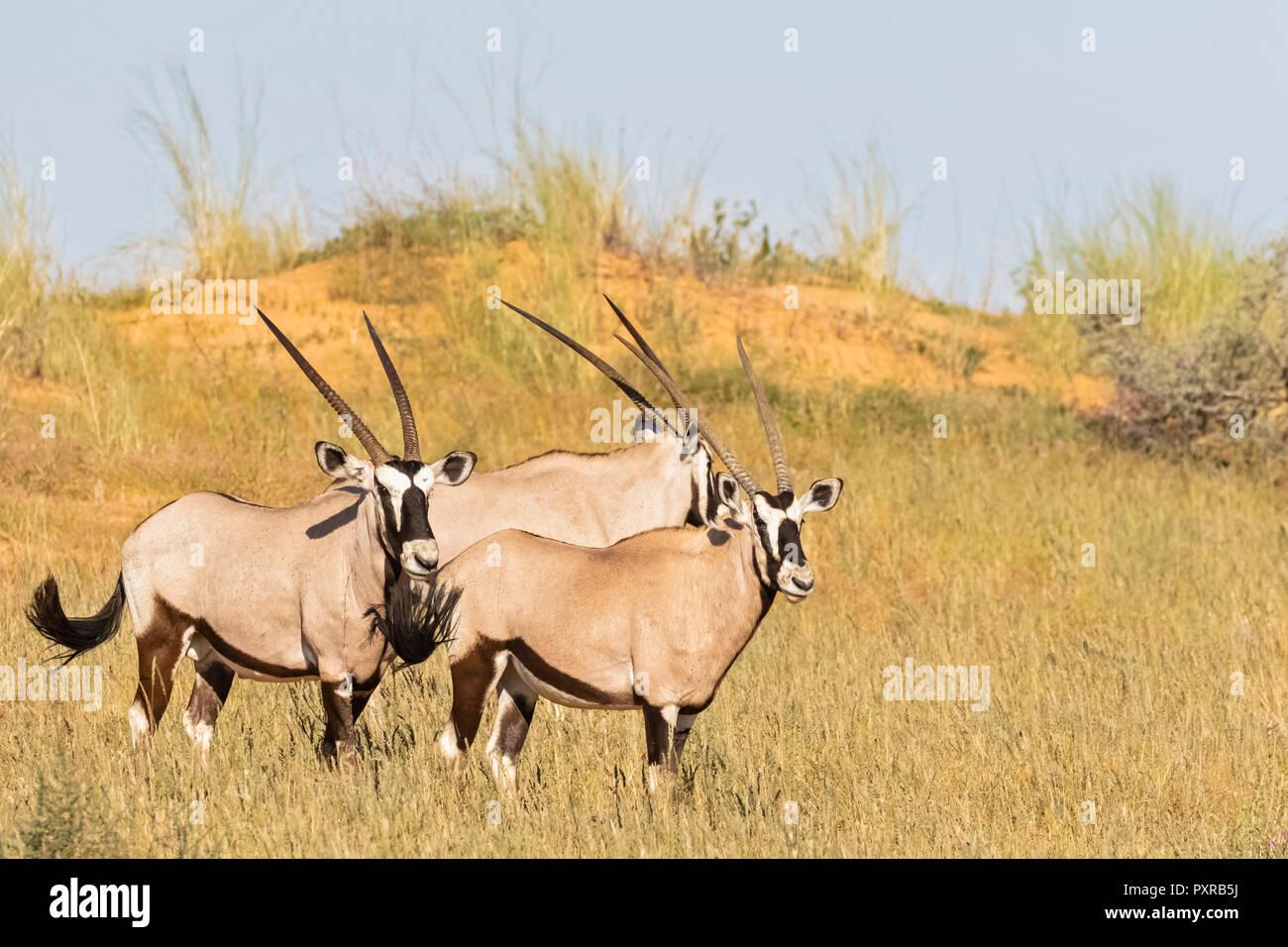 Botswana, Kalahari, Kgalagadi Transfrontier Park, Gemsboks, Oryx gazella - Stock Image