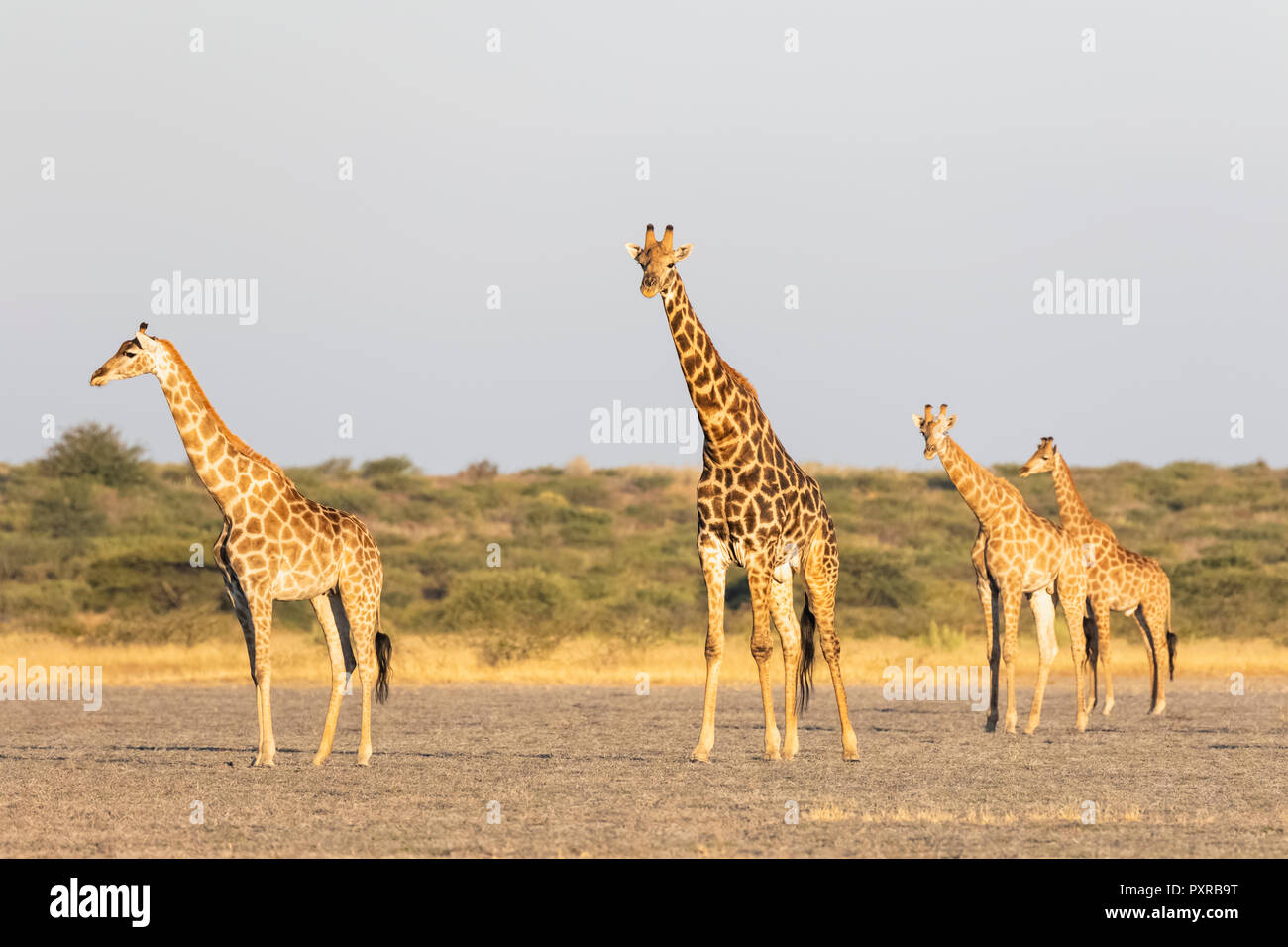 Botswana, Kalahari, Central Kalahari Game Reserve, Stock Photo