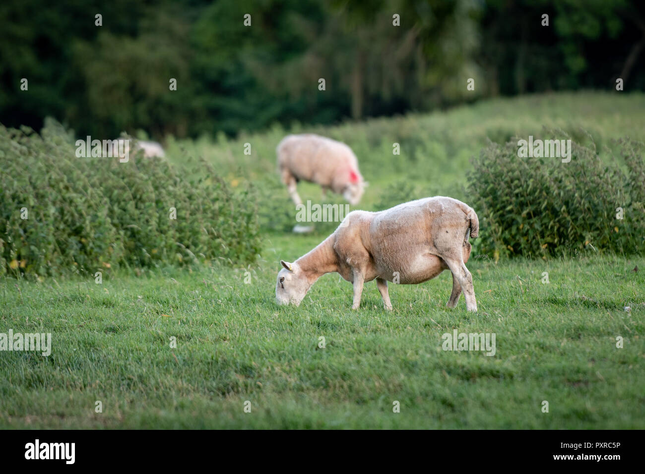 A recently sheared sheep grazes in its pasture outside Richmond, Yorkshire, UK. - Stock Image