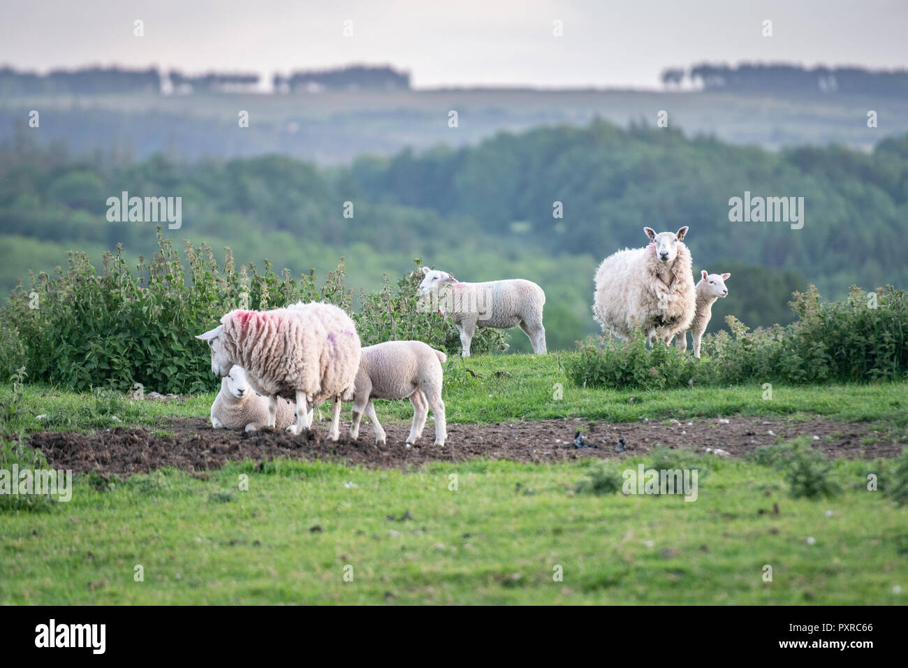 Mothers and their young lambs gather together in their grazing pastures outside Richmond, Yorkshire, UK. - Stock Image