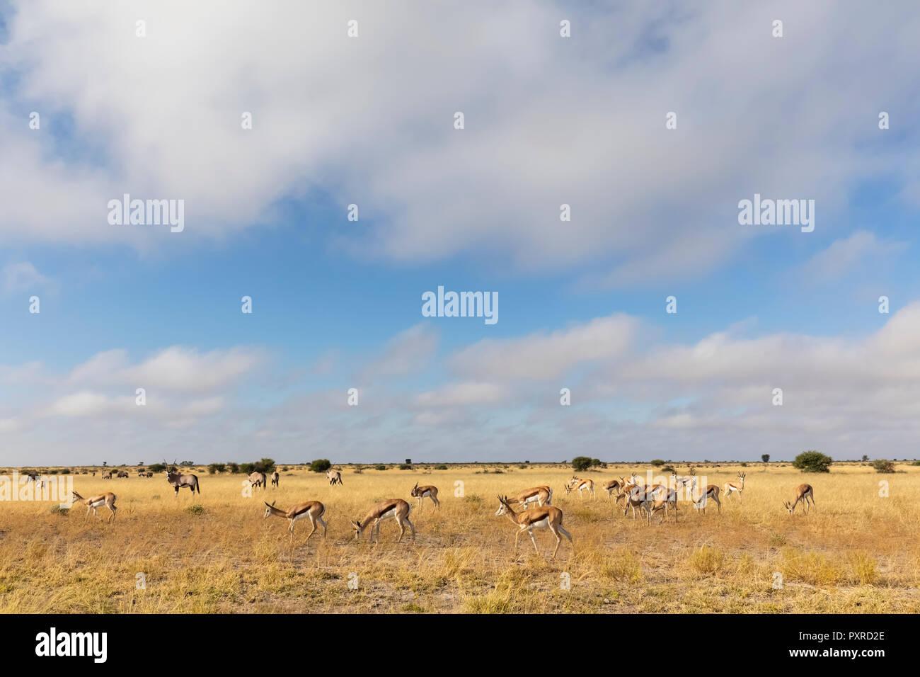 Botswana, Kalahari, Central Kalahari Game Reserve, Gemsboks, Oryx gazella - Stock Image