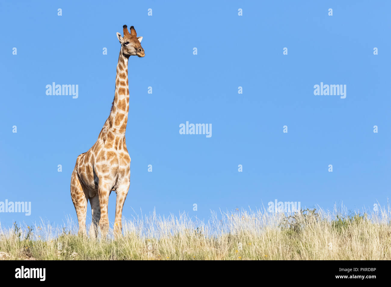 Africa, Botswana, Kgalagadi Transfrontier Park, Giraffe - Stock Image