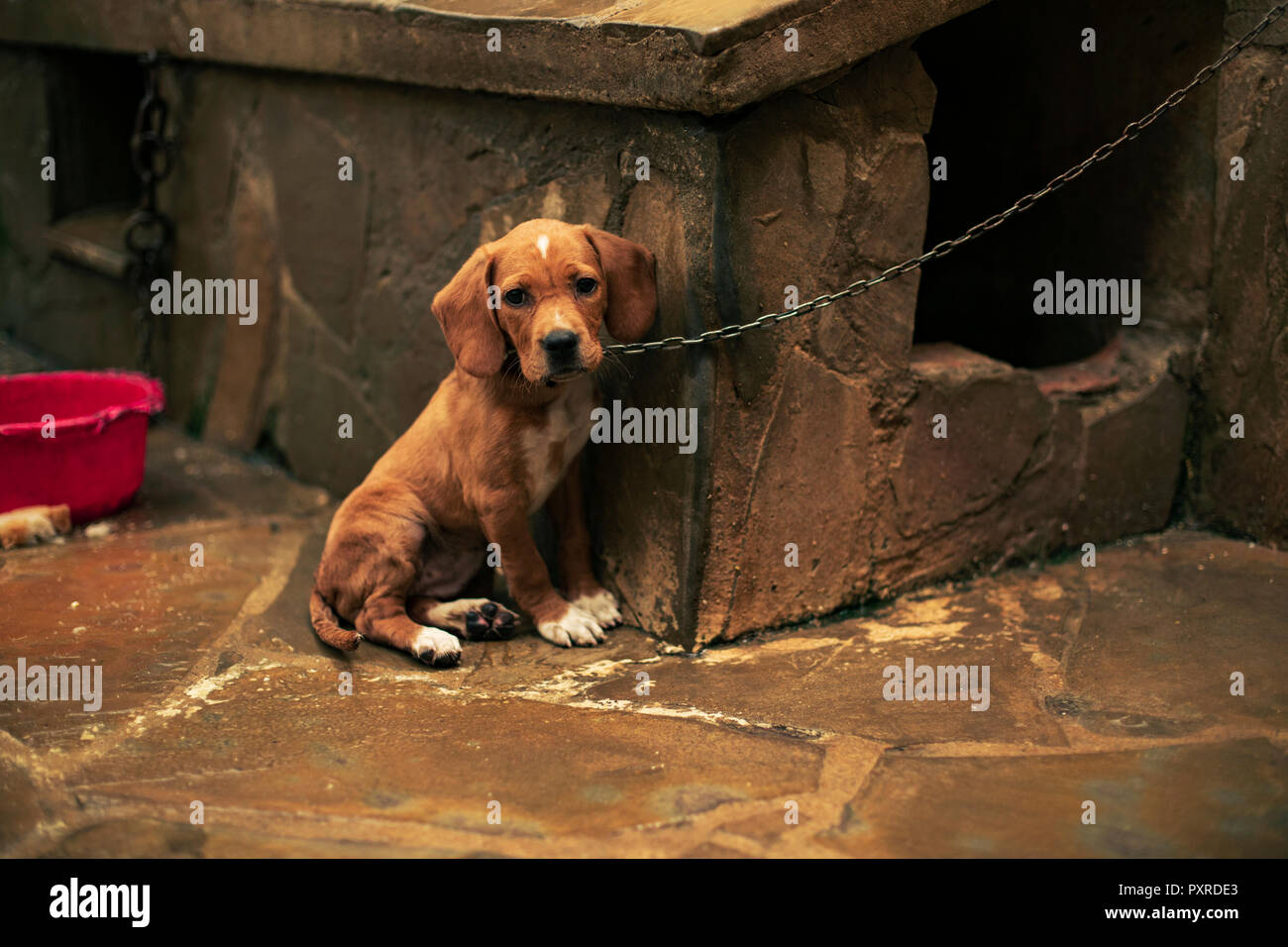 Portrait of a sad puppy tied - Stock Image