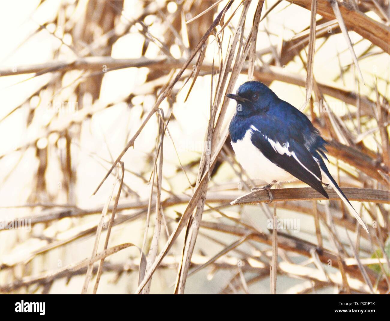 Oriental Magpie Robin - Stock Image