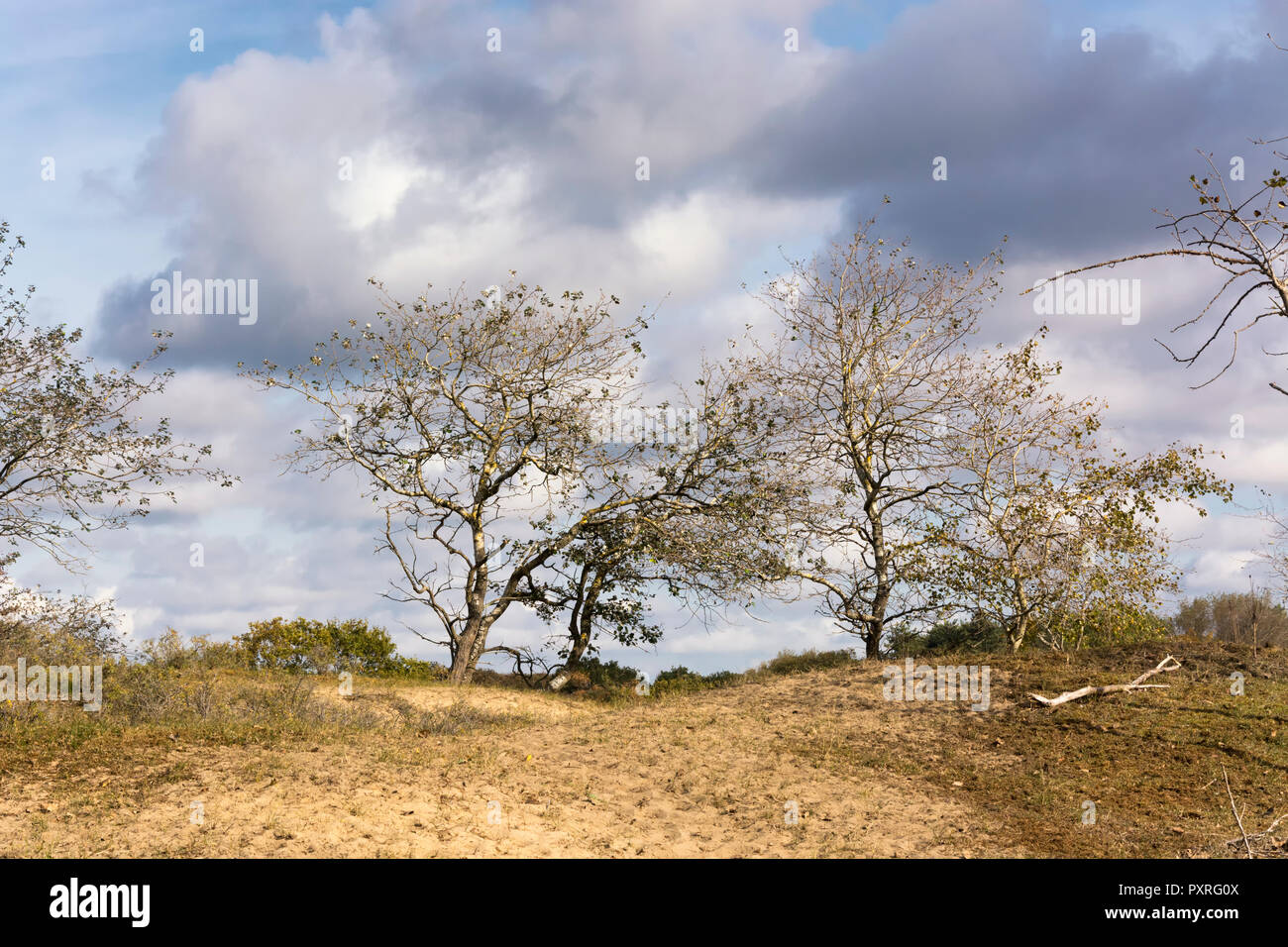 View on trees letting their last leaves go. These trees are in the area of the Waterleidingduinen, a beautiful coastal Dutch nature reserve - Stock Image