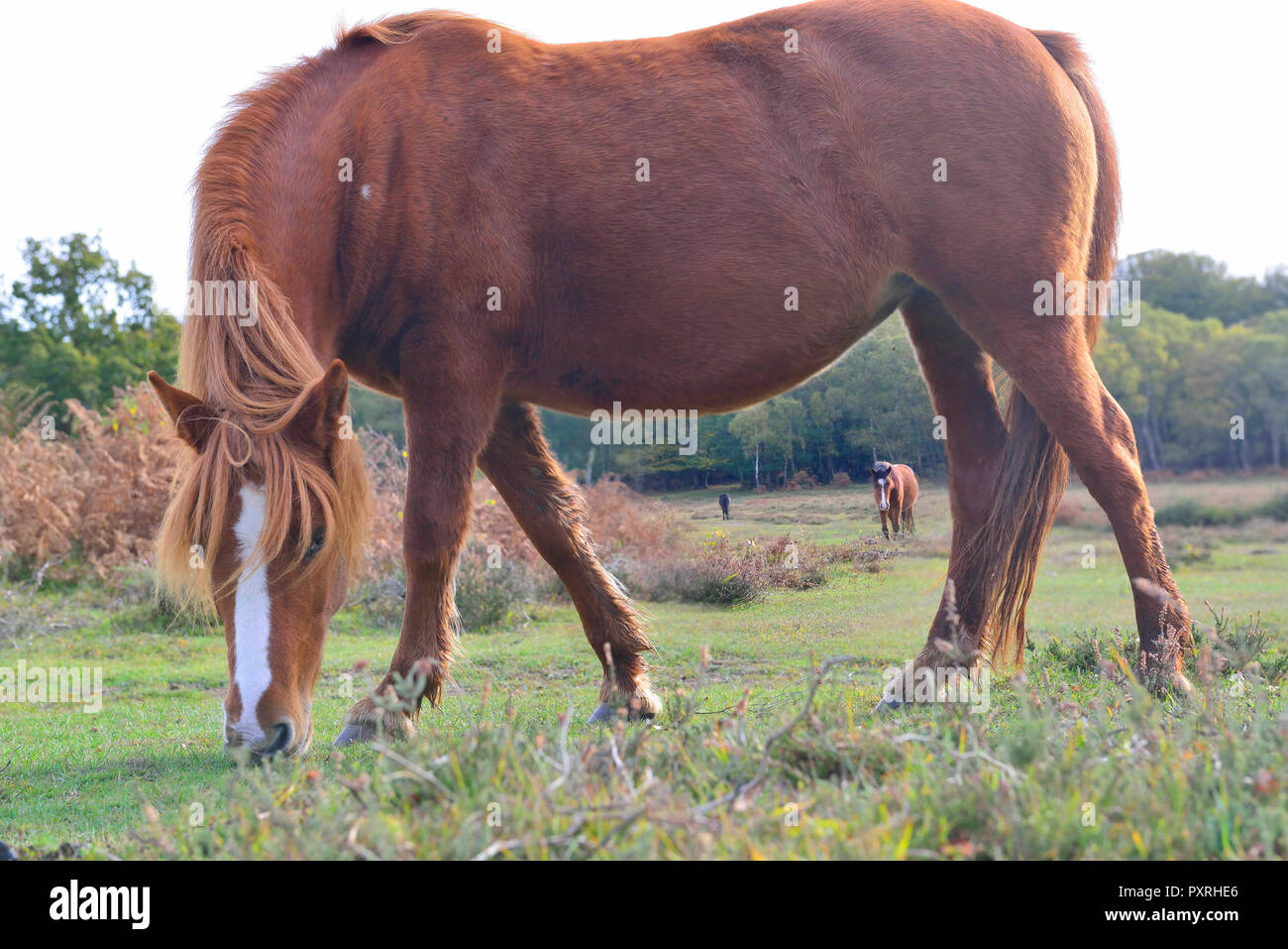 New Forest ponies enjoy the last of the sunny weather before arctic weather arrives this weekend. Stock Photo