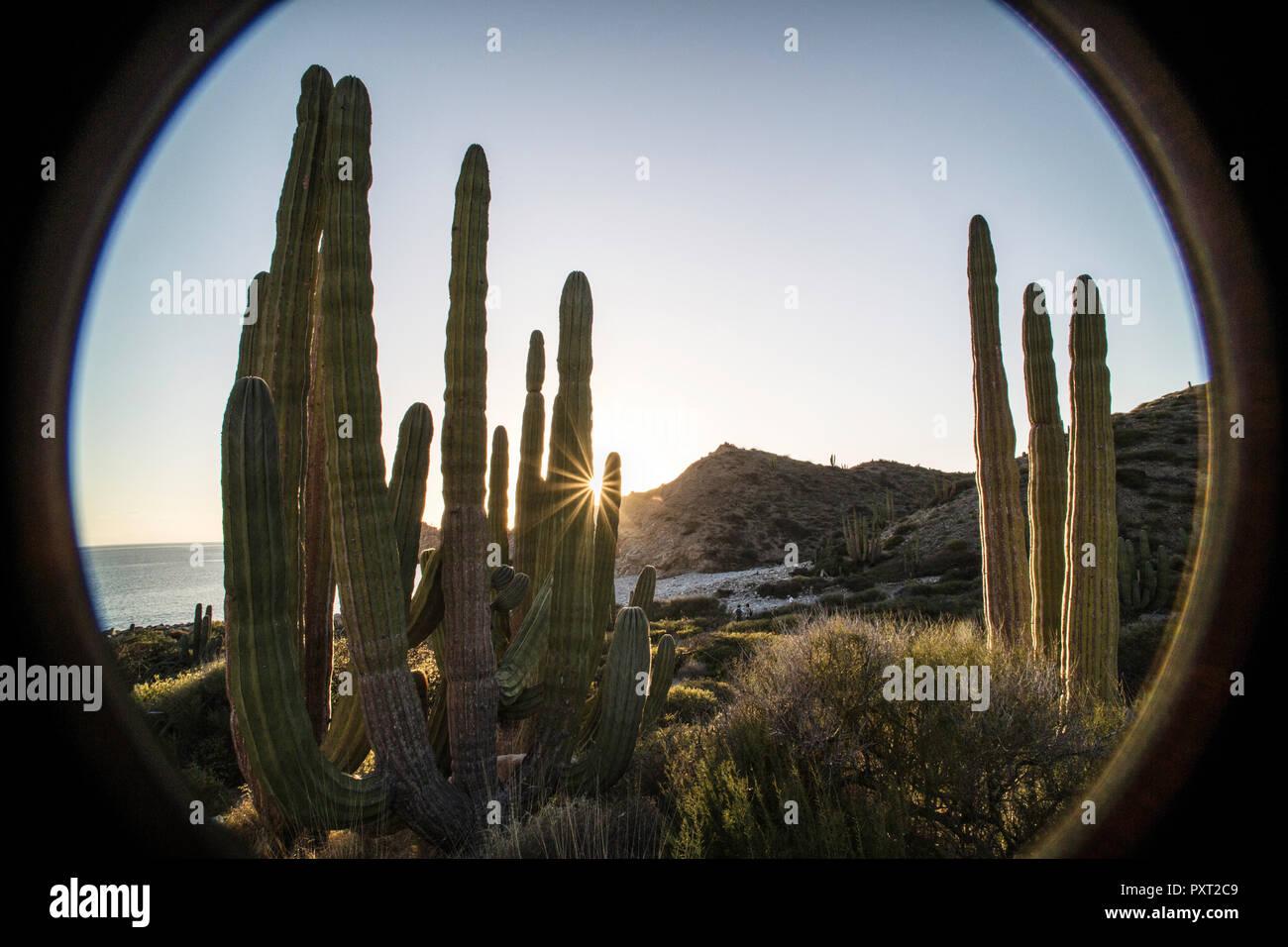 pachycereus pringlei cactus jungle