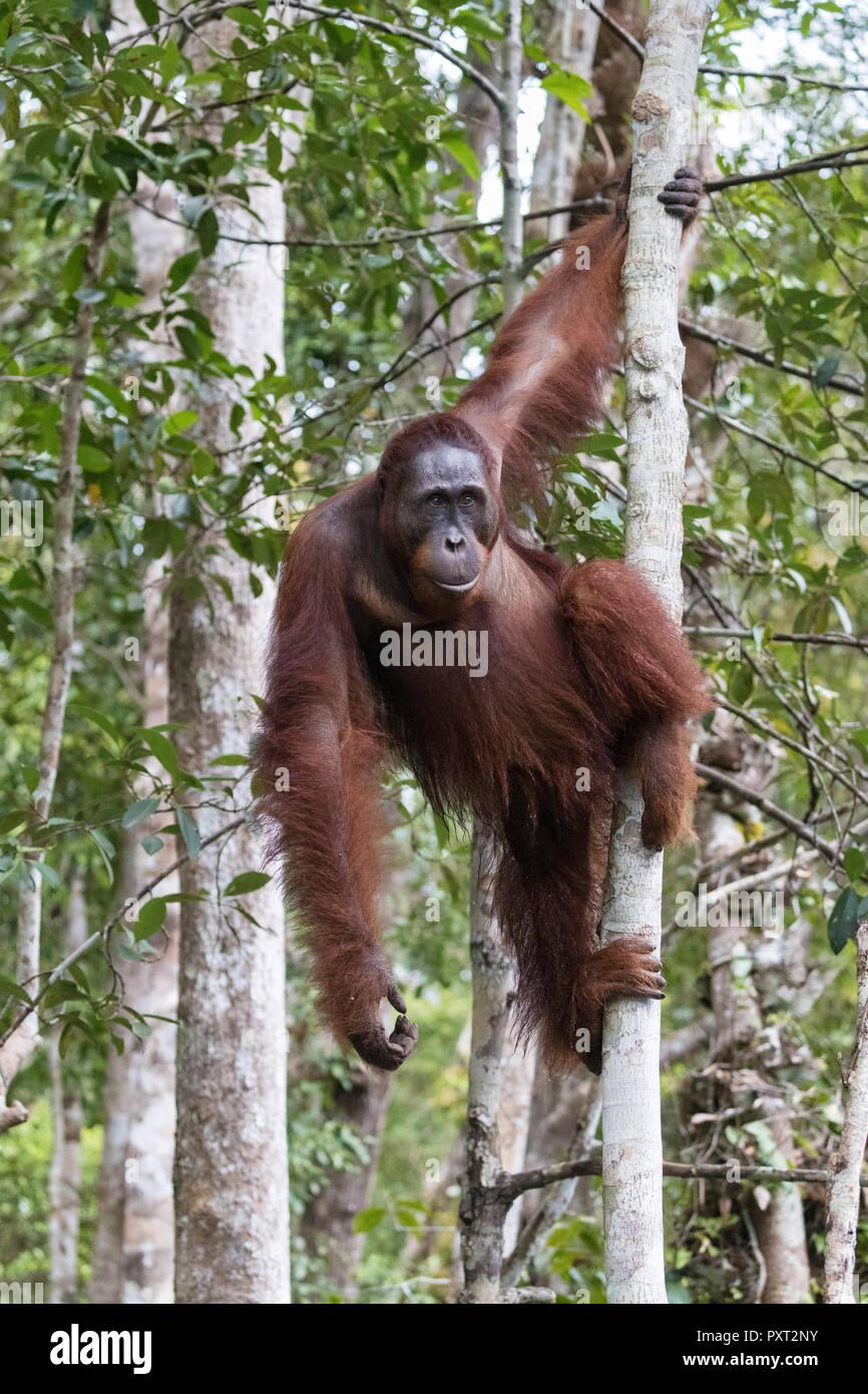 Male Bornean orangutan, Pongo pygmaeus, at Camp Leakey dock, Borneo, Indonesia. - Stock Image