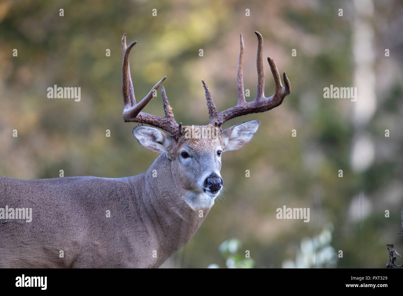 A large male white-tailed deer. - Stock Image