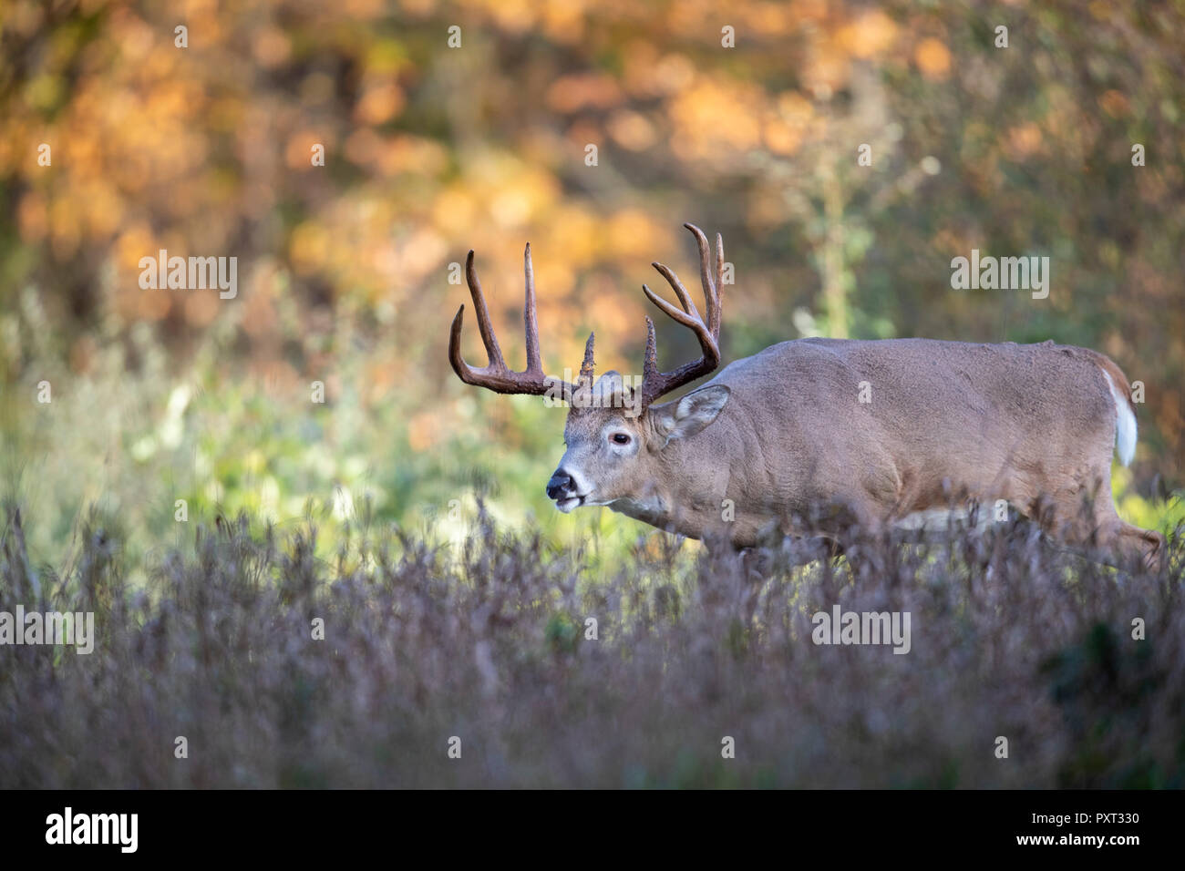 A mature buck white-tailed deer following the trail of females during the rut. - Stock Image