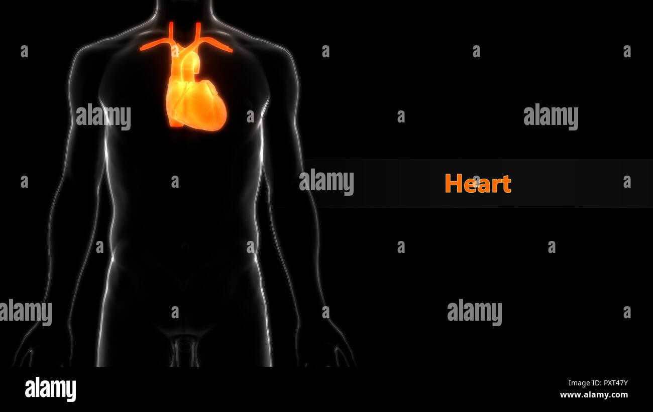 Human Cardiovascular System Heart Anatomy - Stock Image
