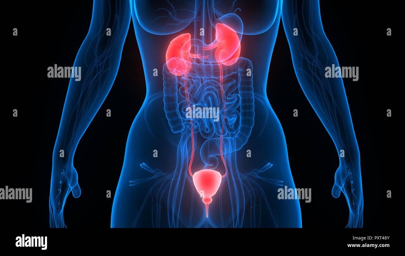 Human Urinary System Kidneys with Bladder Anatomy Stock