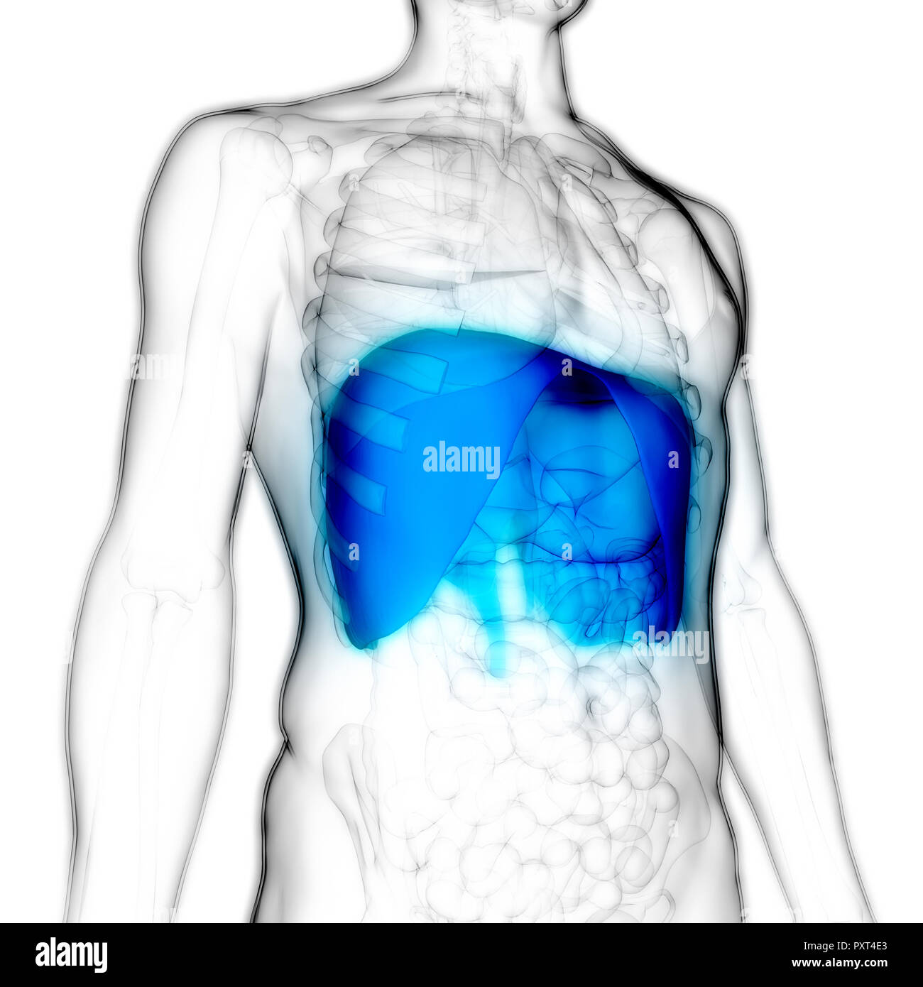 Human Respiratory System Diaphragm Anatomy Stock Photo 223035851