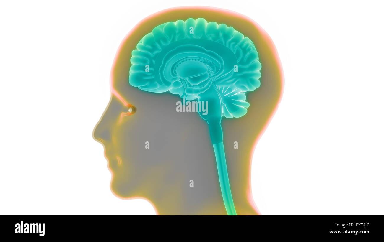 Human Brain Anatomy Stock Photo 223035972 Alamy