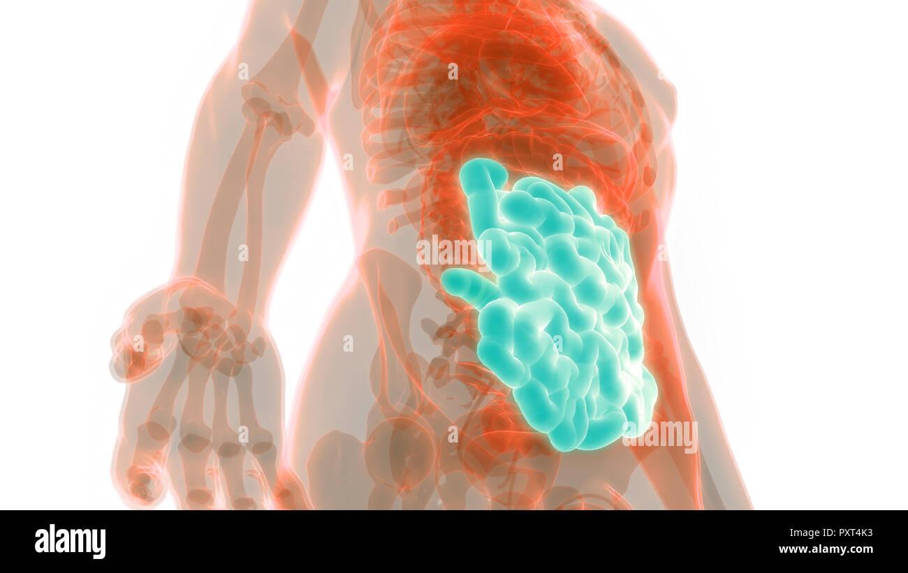 Human Digestive System Small Intestine Anatomy Stock Photo
