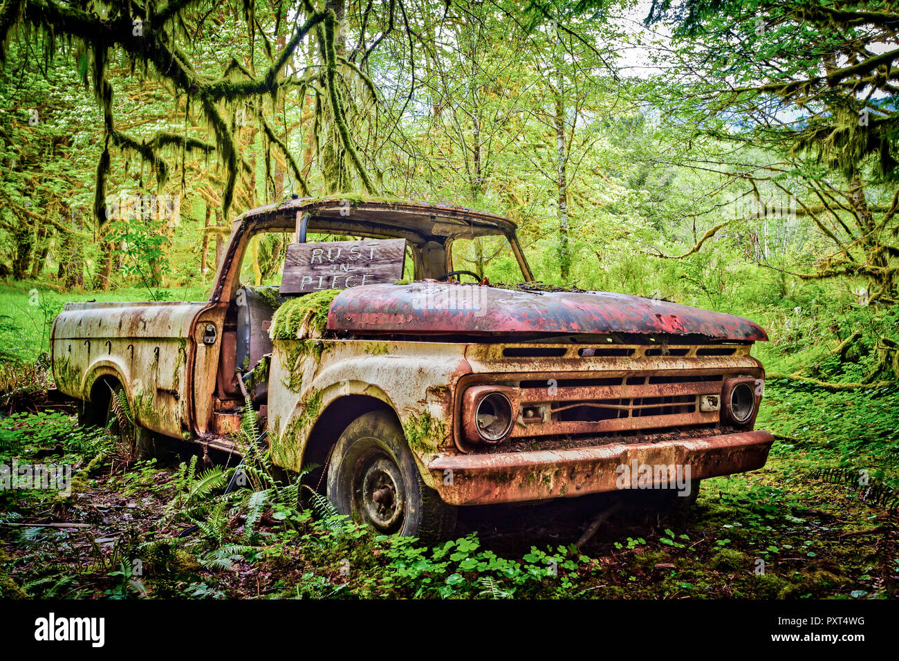 Abandoned Ford pickup truck from 1963 decaying in the middle of a rainforest, Washington, USA - Stock Image