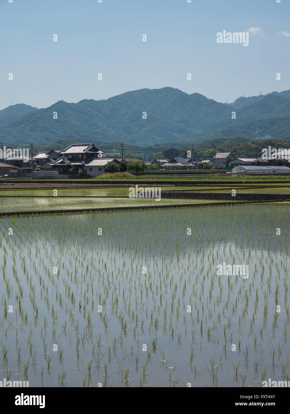 Rice seedlings in flooded field, with village houses and distant blue forest hills, Sanuki,  Kagawa, Japan - Stock Image