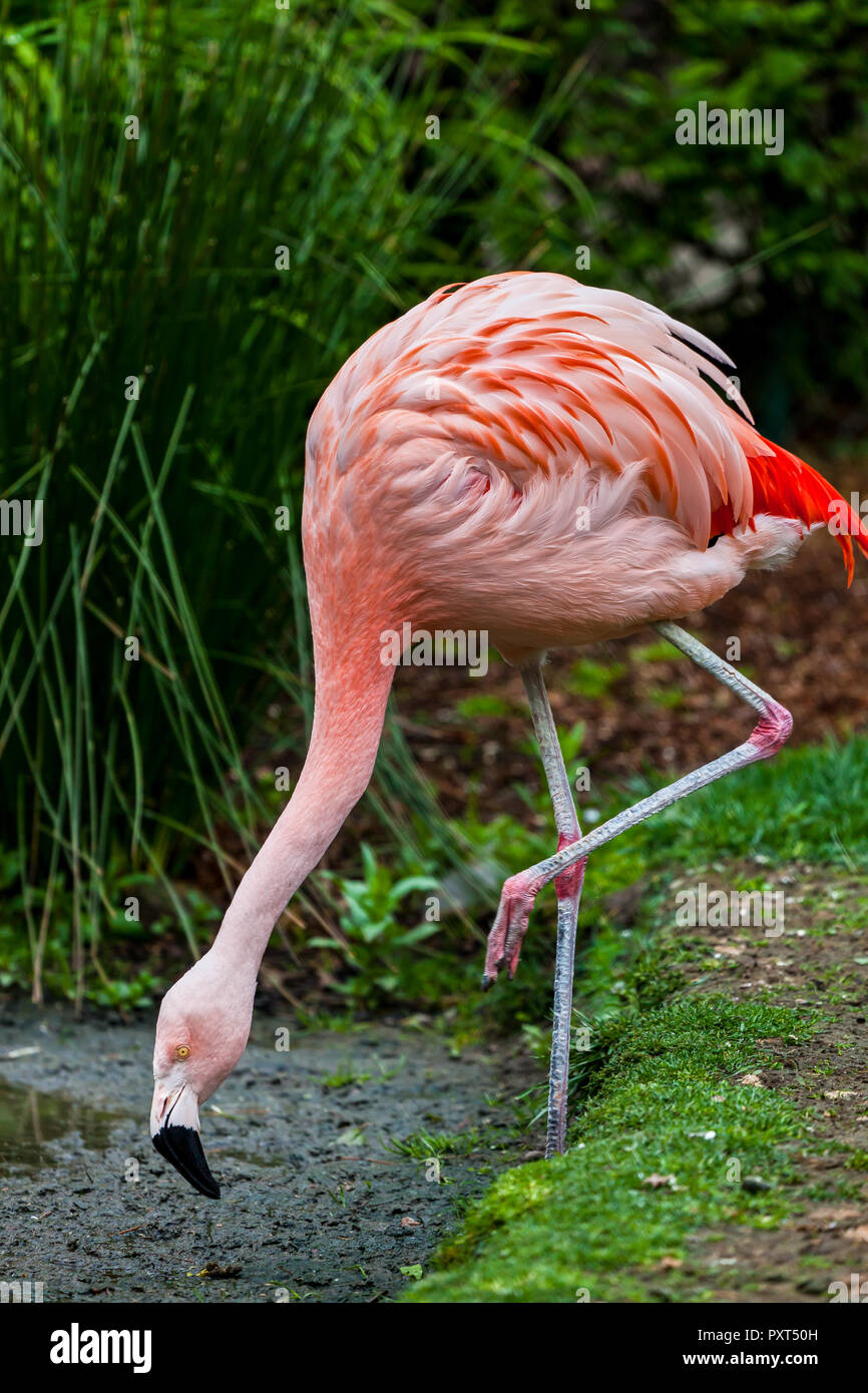 Pink Flamingo standing on one leg with head down to eat in the grass and mud Stock Photo