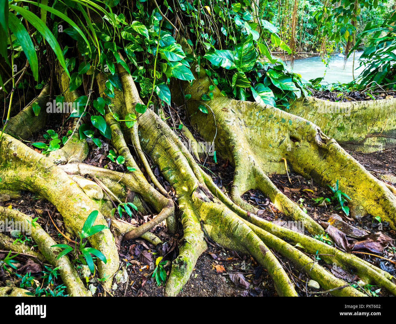 Tree roots at the river Martha Brae, region Montego Bay, Jamaica, Greater Antilles, Caribbean Stock Photo