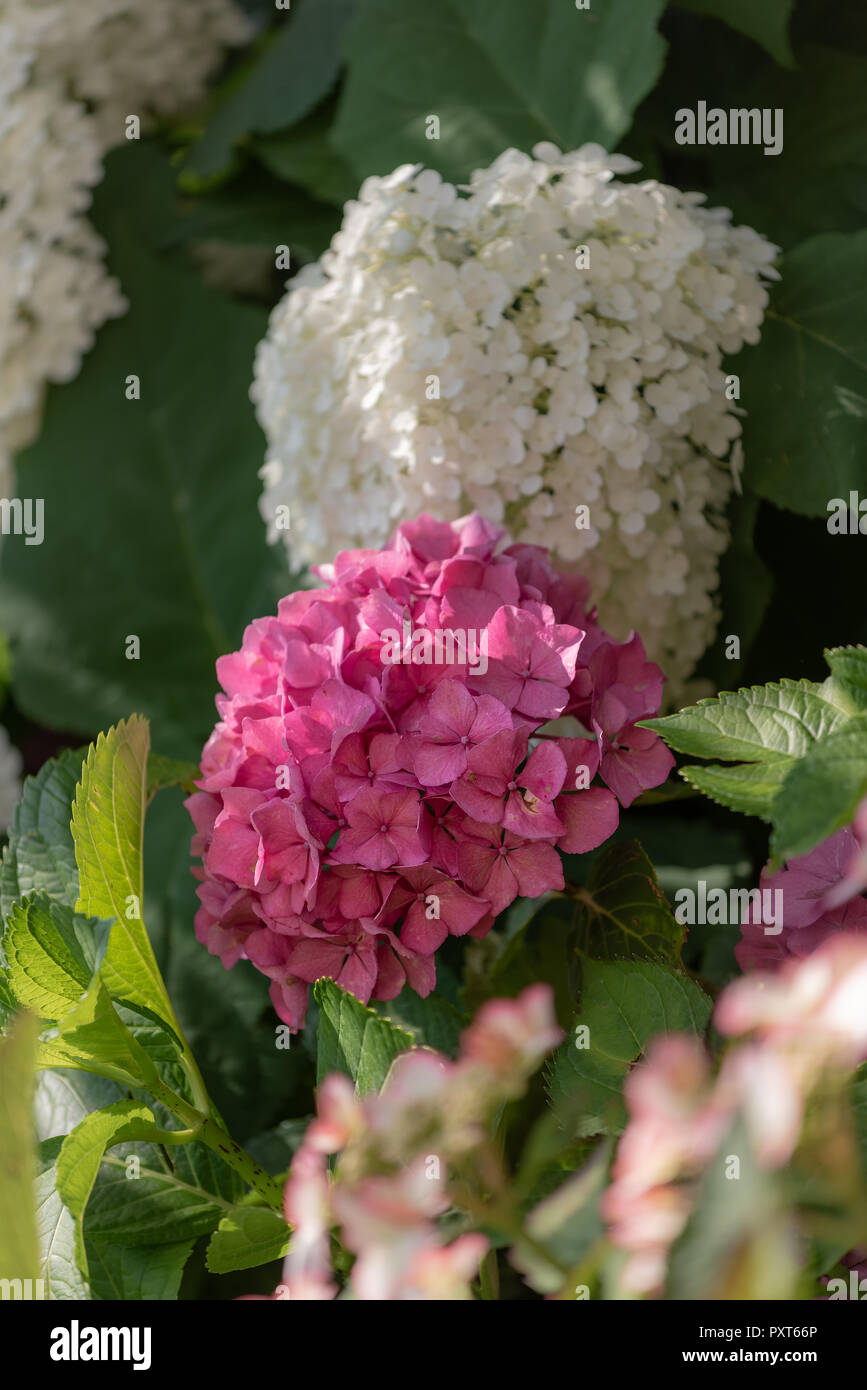 Color Outdoor Floral Macro Of A Single Flowering Pink Hydrangea - Color-hortensia
