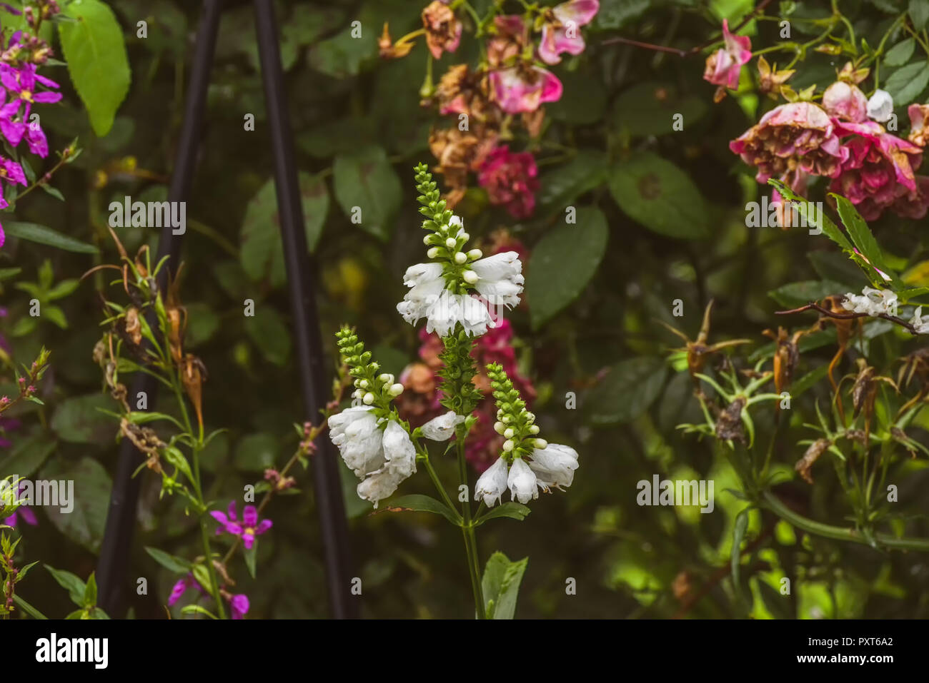 Colorful outdoor image of three blossoms of a green white false  dragonhead/obedient/obedience plant in front of a rose hedge with fading flowers - Stock Image