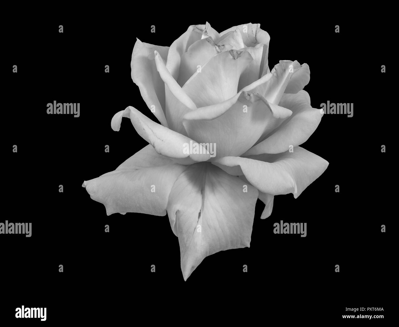Flower Still Life Painting Black And White Stock Photos Images Alamy