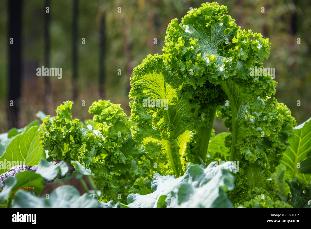 Kale, a nutrient dense superfood, growing in a community garden in Metro Atlanta, Georgia. - Stock Image