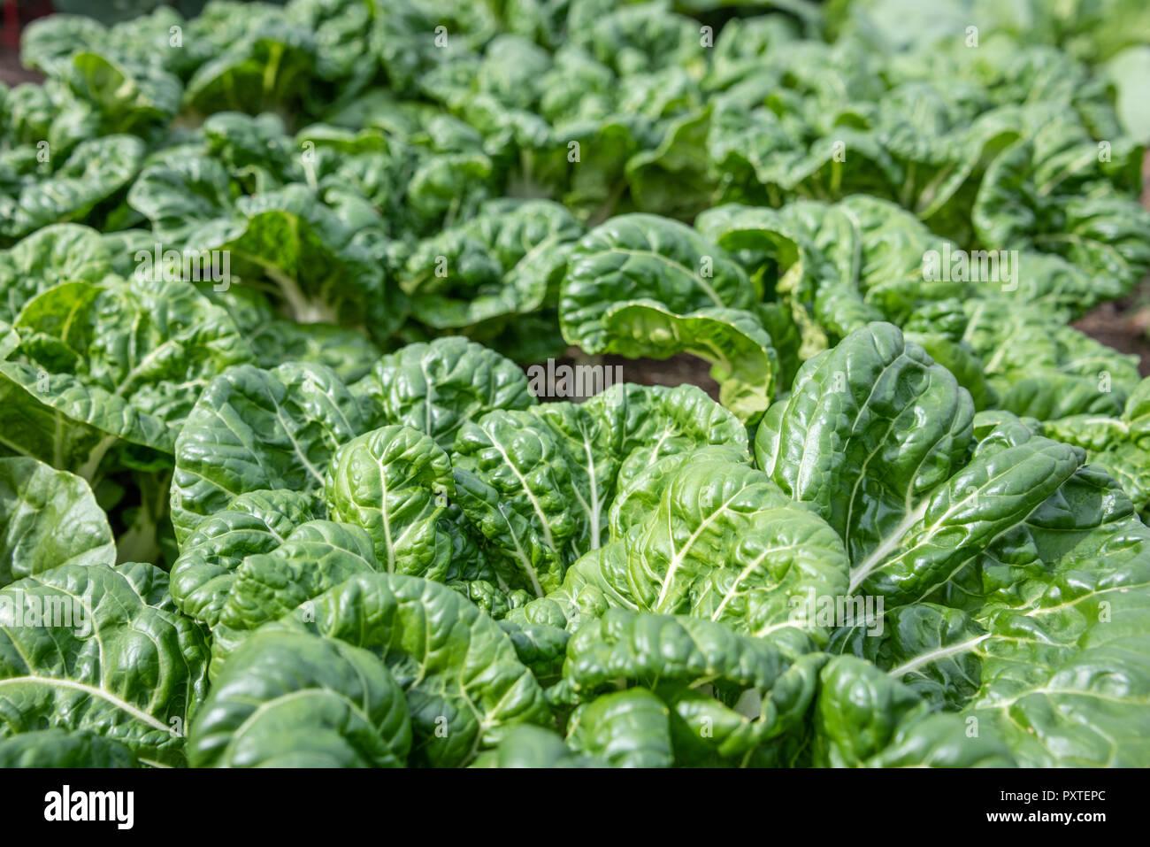 Bok choy growing in a community garden in Metro Atlanta, Georgia. - Stock Image