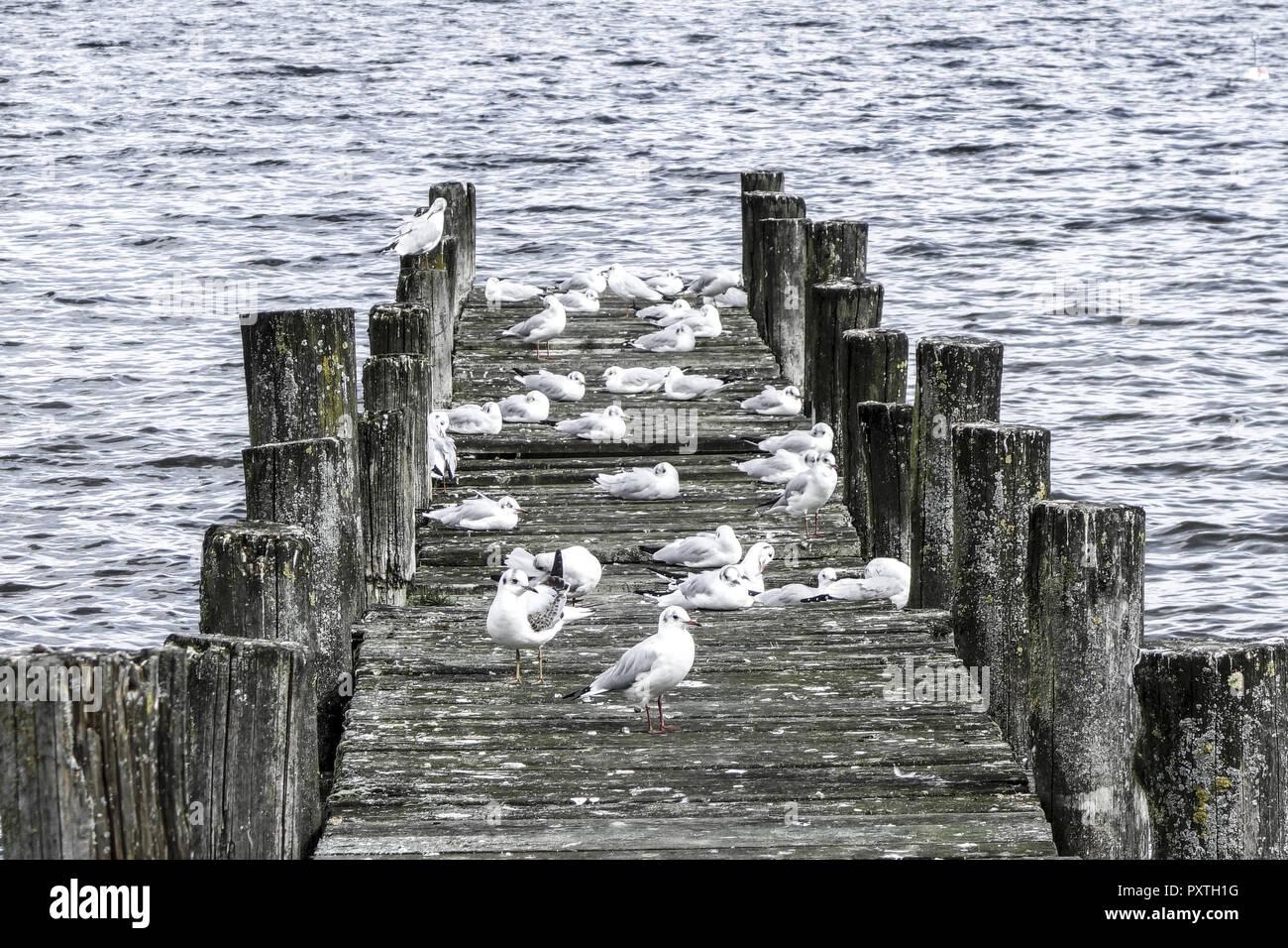 Möven sitzen auf einem Holzsteg im See - Stock Image