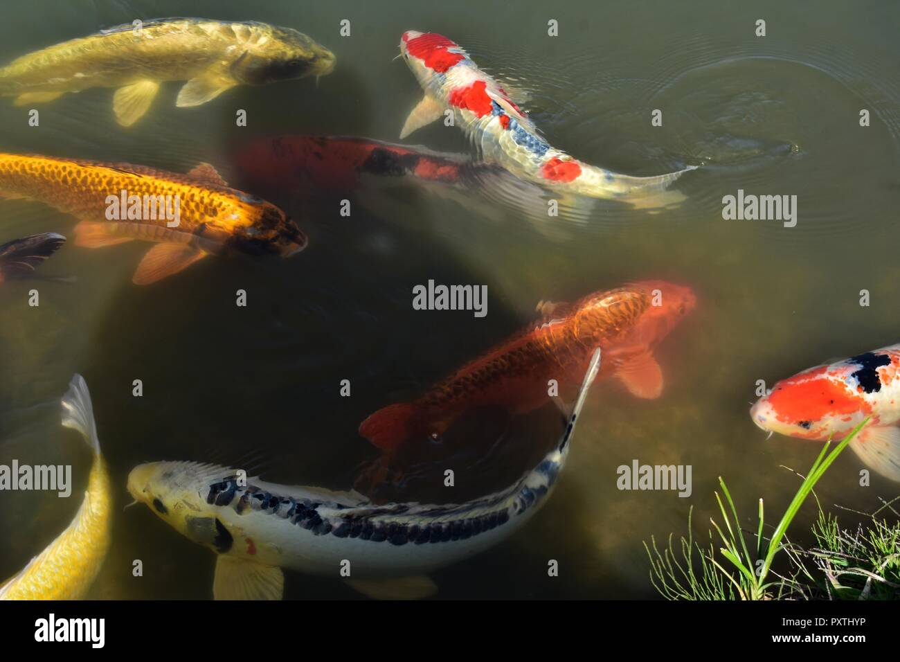 Colorful Koi Fish Swimming In The Water Background