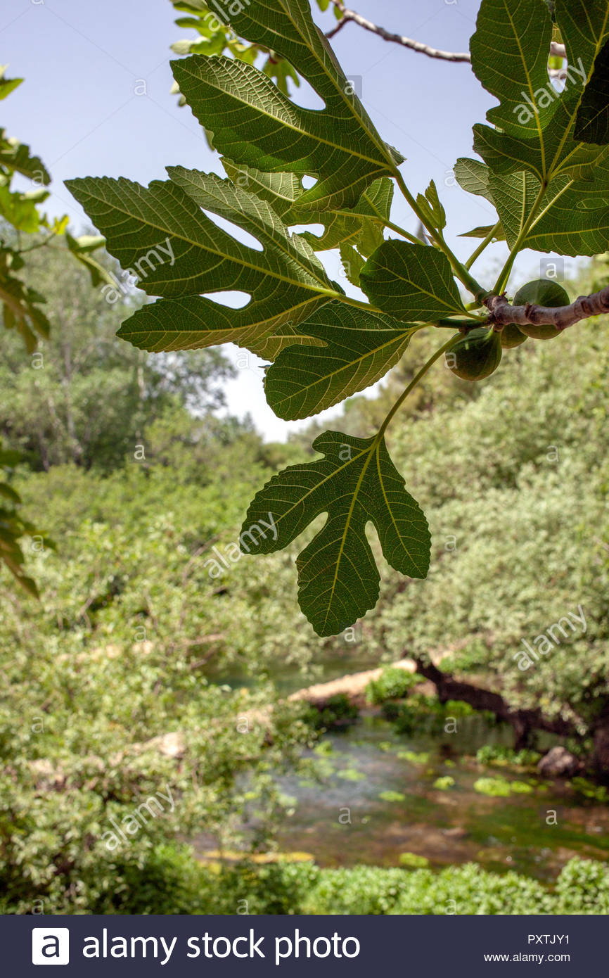 Figs growing on a fig tree, with the flowing water and beauty of the  at Banias Spring area on a sunny day, Caesarea Phillipi, Israel - Stock Image