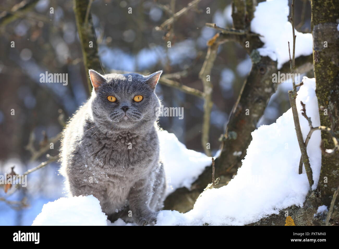 Blue British Shorthair Cat sitting on a tree in the garden in snowy winter - Stock Image