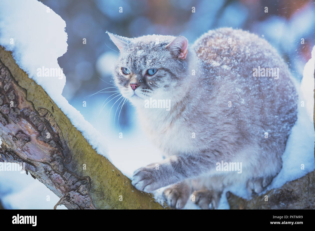 Siamese cat sits on a tree in the garden in a snowy winter - Stock Image
