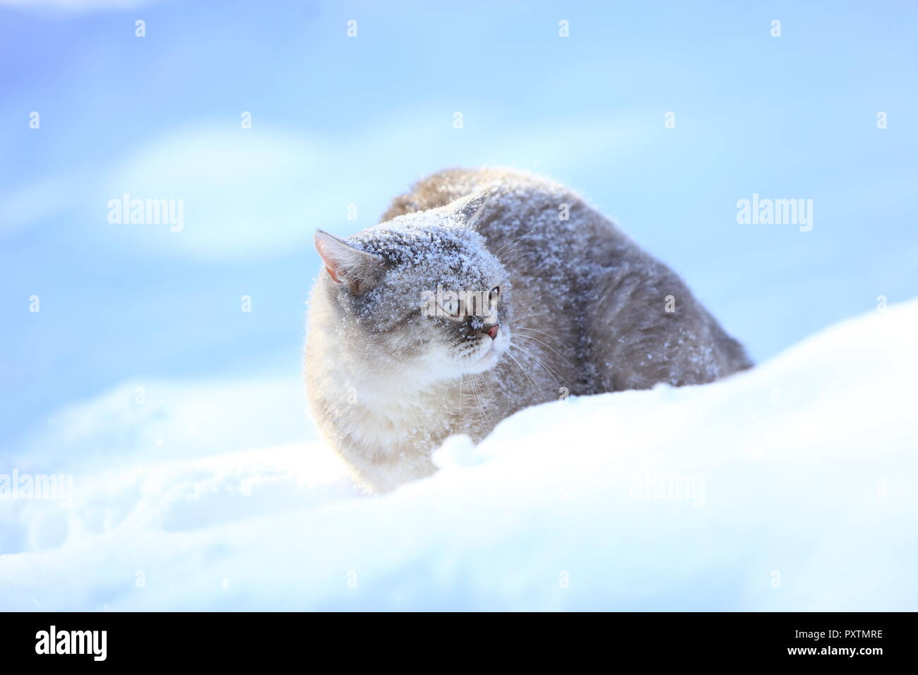 Siamese cat sits in deep snow in winter - Stock Image