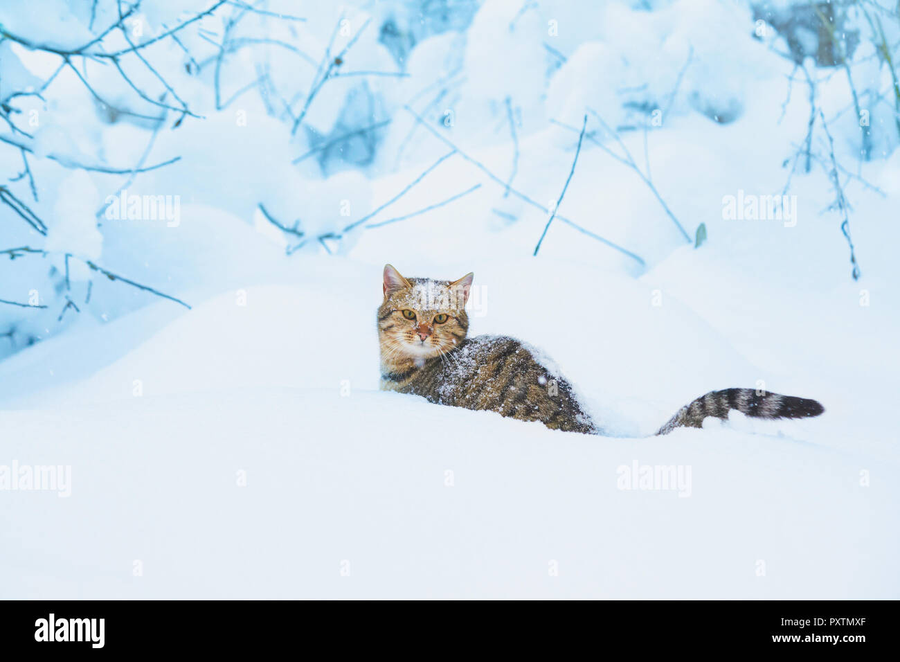 Cat covered with snow sitting in the deep snow in a blizzard - Stock Image
