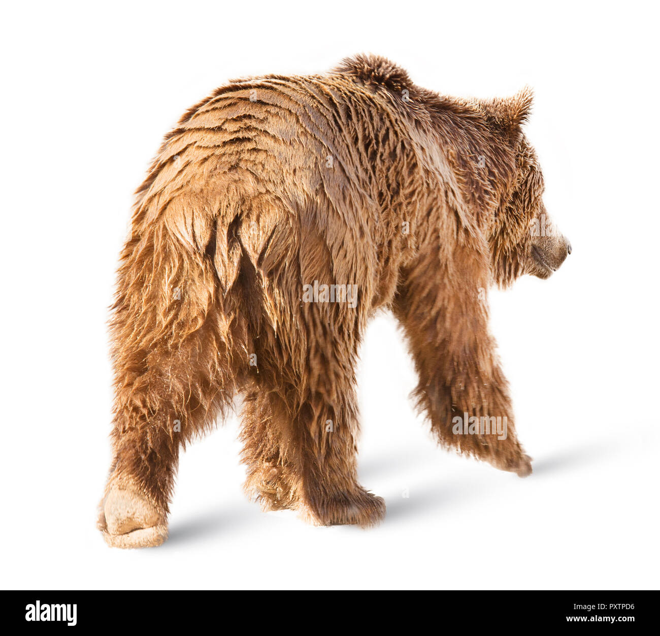 Bear isolated on white background Stock Photo