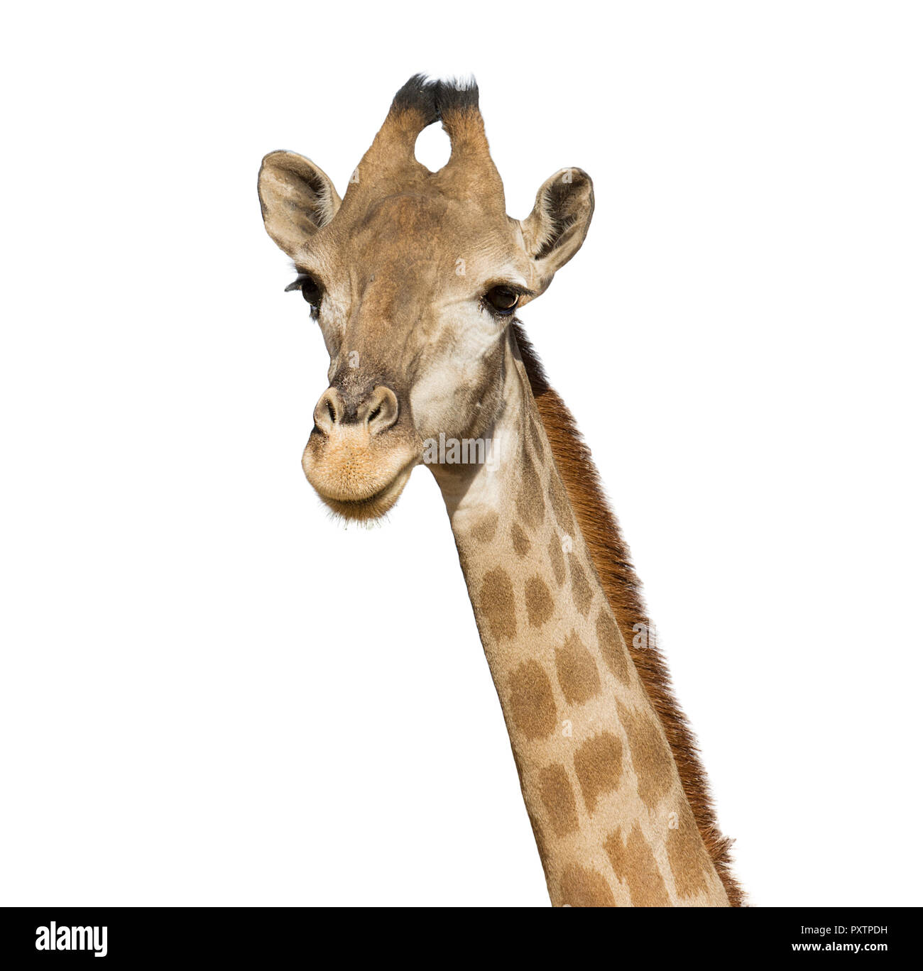 giraffe head isolated on white background, a large African mammal with a very long neck and forelegs, having a coat patterned with brown patches separ Stock Photo