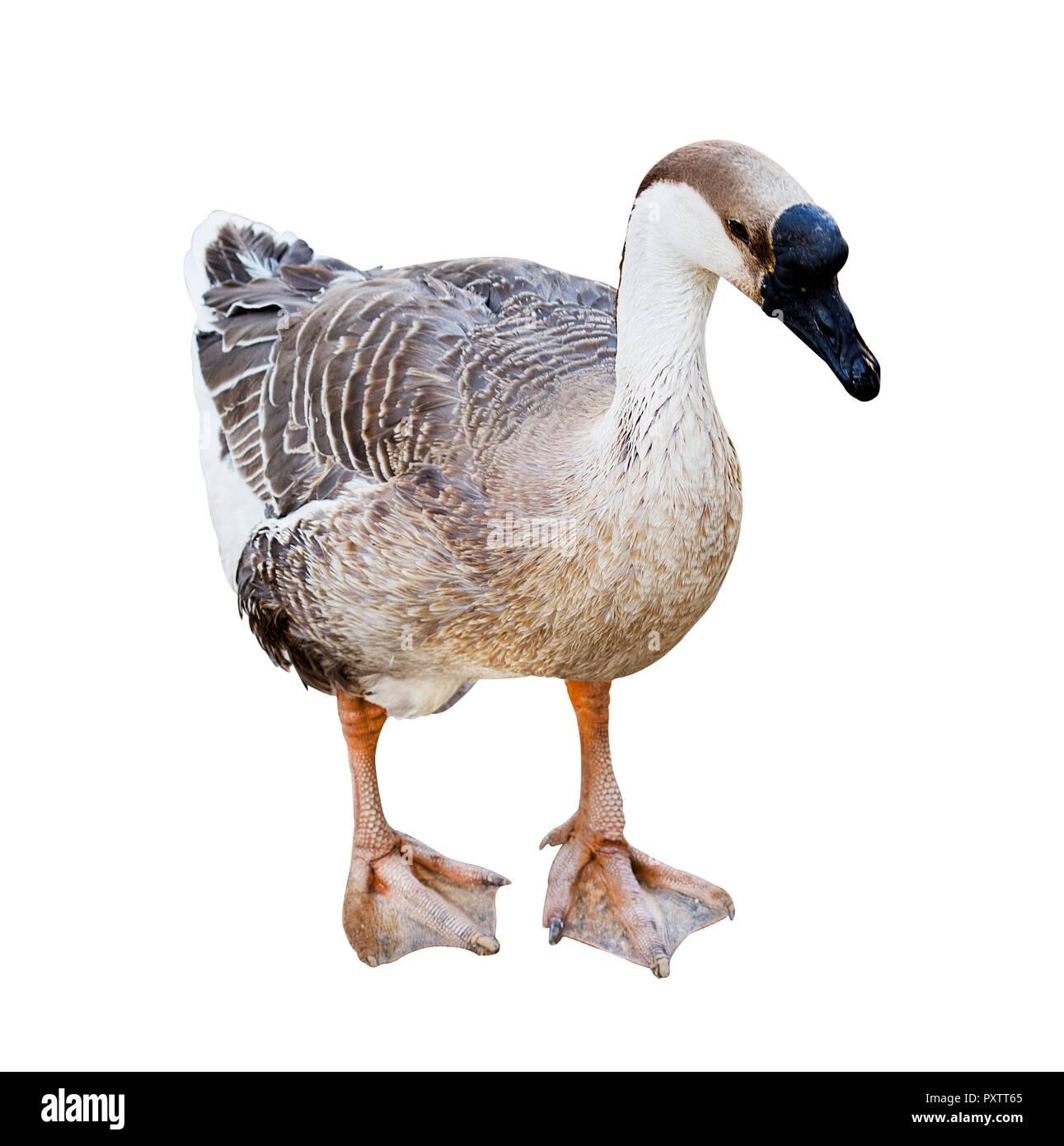 goose isolated on white background Stock Photo