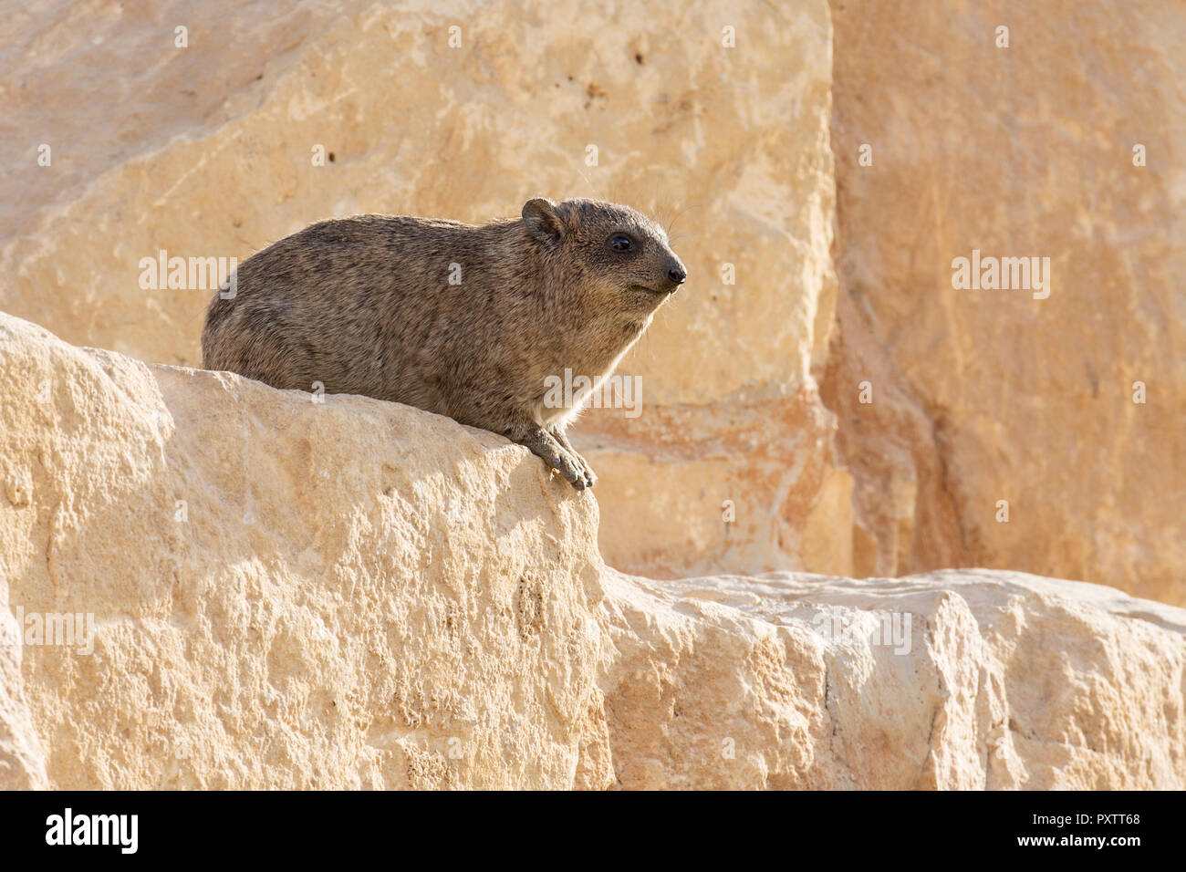 Hyrax animal sitting on rock with tree out to focus background Stock Photo