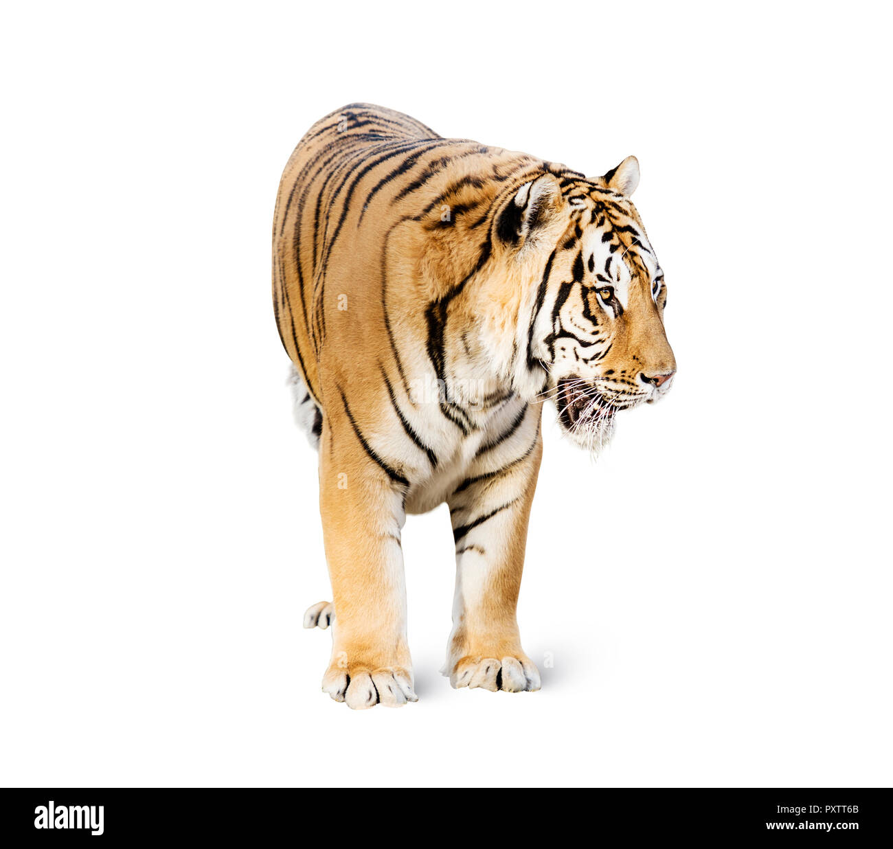 tiger isolated on white background, The Indochinese tiger is a tiger subspecies occurring in Myanmar, Thailand, Lao, Viet Nam. It is listed as Endanger Stock Photo