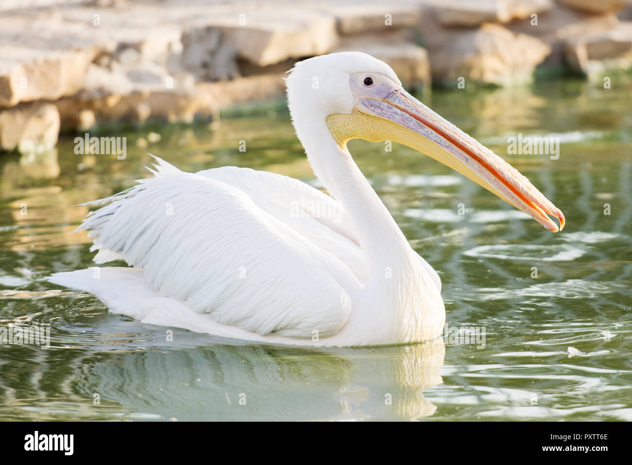 white pelican on water Stock Photo