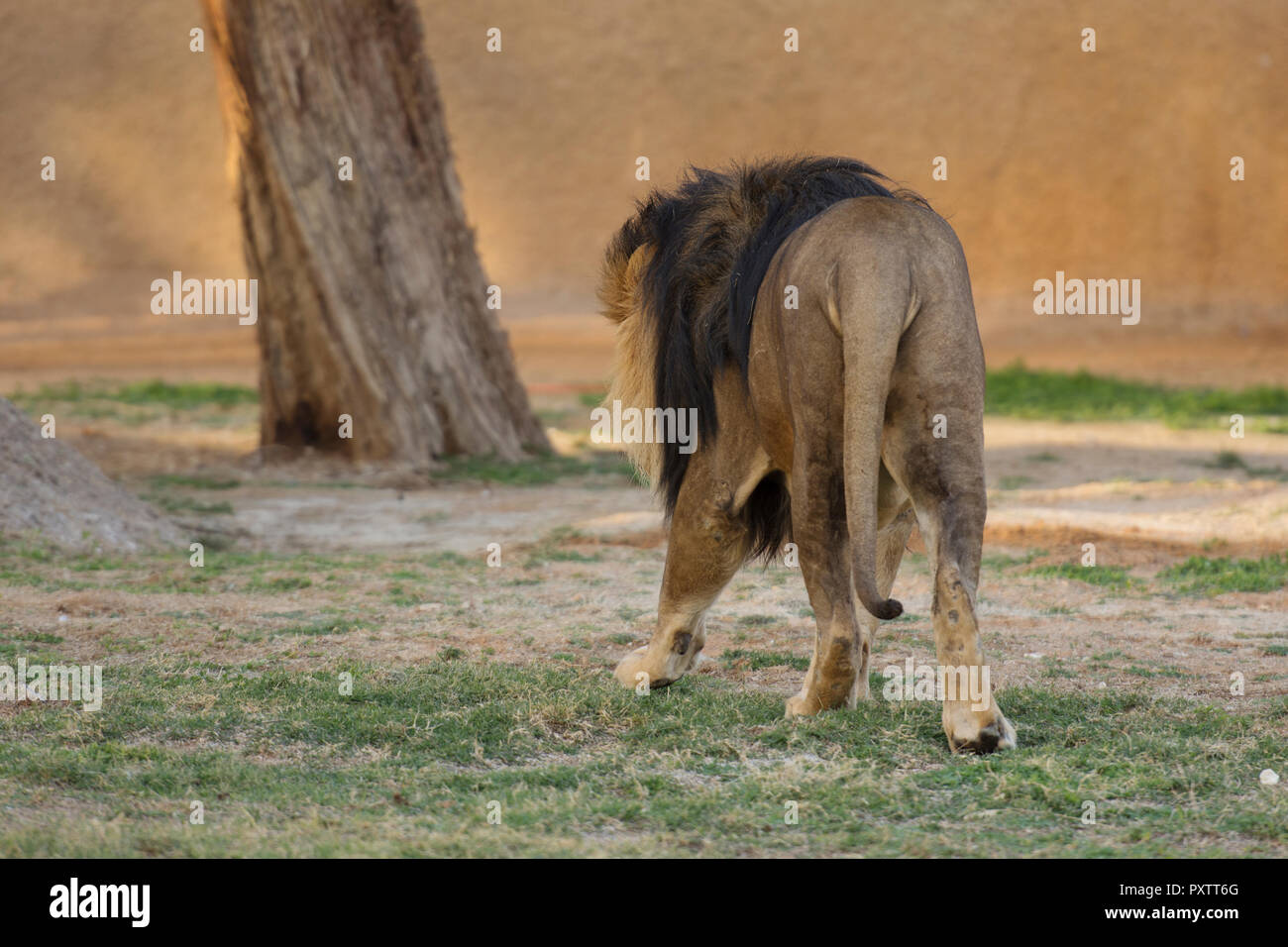 back of lion walking on the grass in zoo Stock Photo