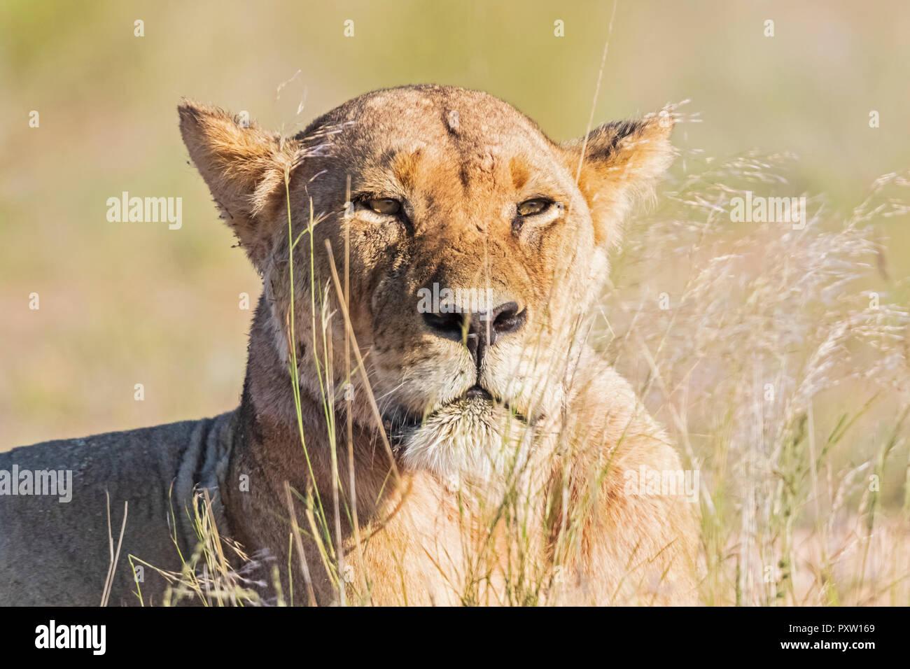 Botswana, Kgalagadi Transfrontier Park, portrait of lioness - Stock Image