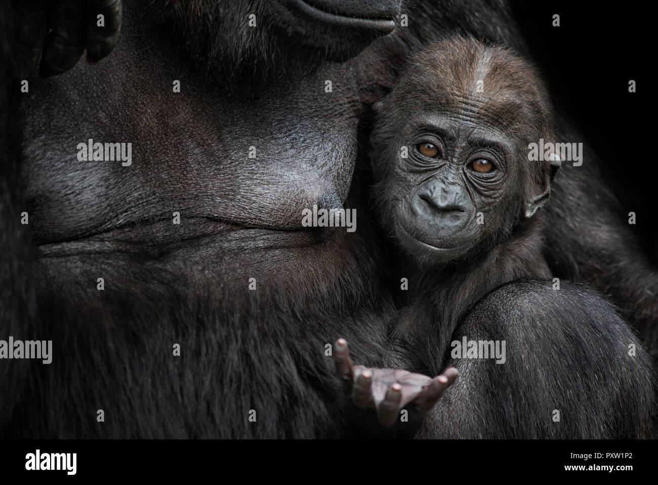 0da88a31633 Ape Reaching Stock Photos   Ape Reaching Stock Images - Alamy