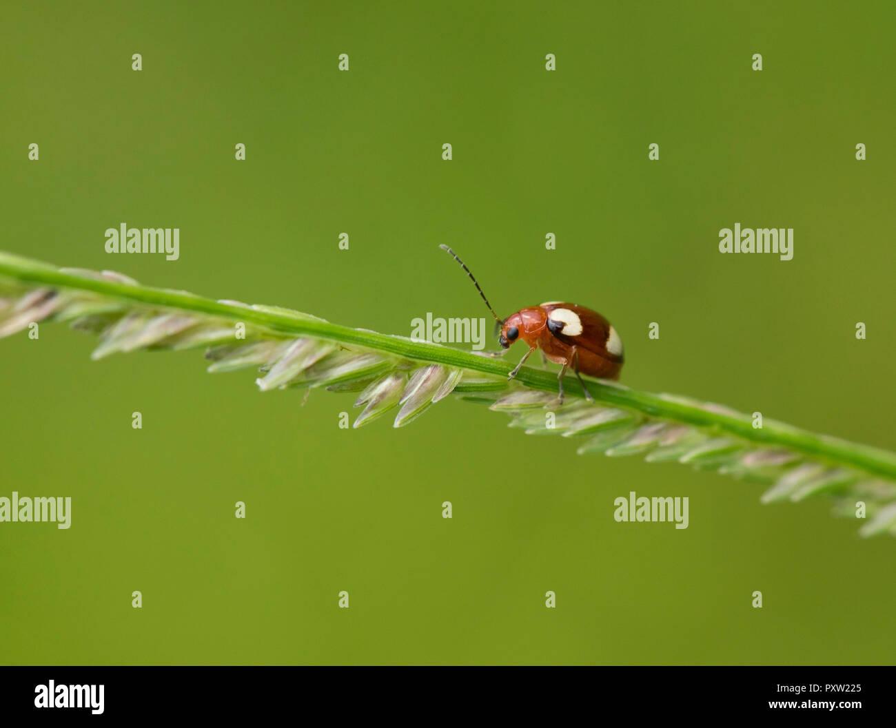 Thailand, ladybird, coccinellidae - Stock Image